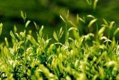 天目湖白茶的功效与作用 喝天目湖白茶的好处